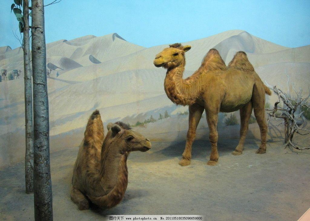 沙漠骆驼 动物园 景观 景象 天空 沙丘 摄影图库