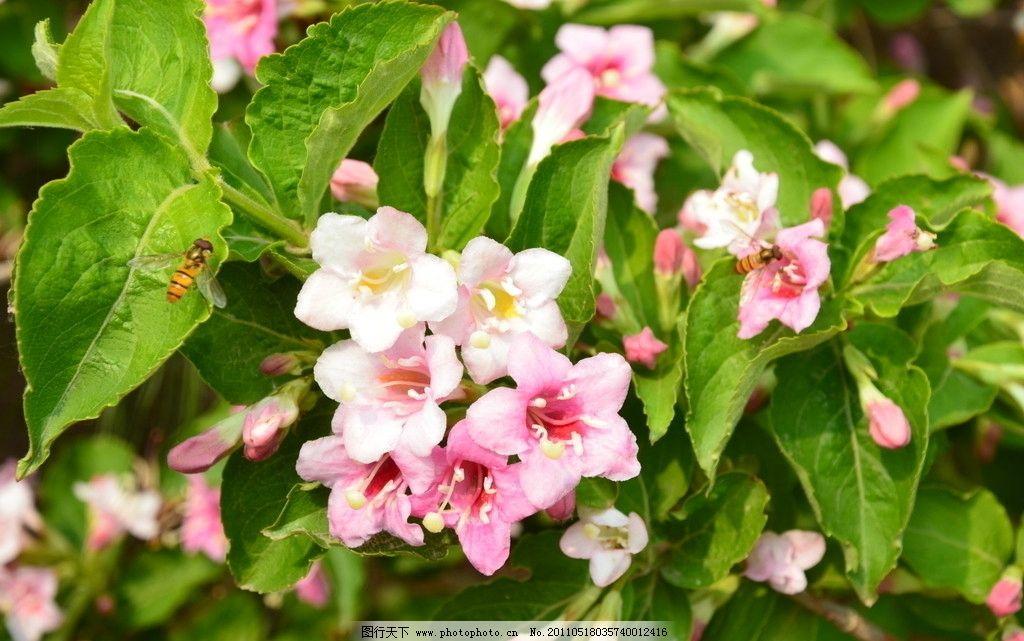 锦带花 花卉 海仙 忍冬科锦带花属 落叶灌木 花冠漏斗状钟形 玫瑰红色