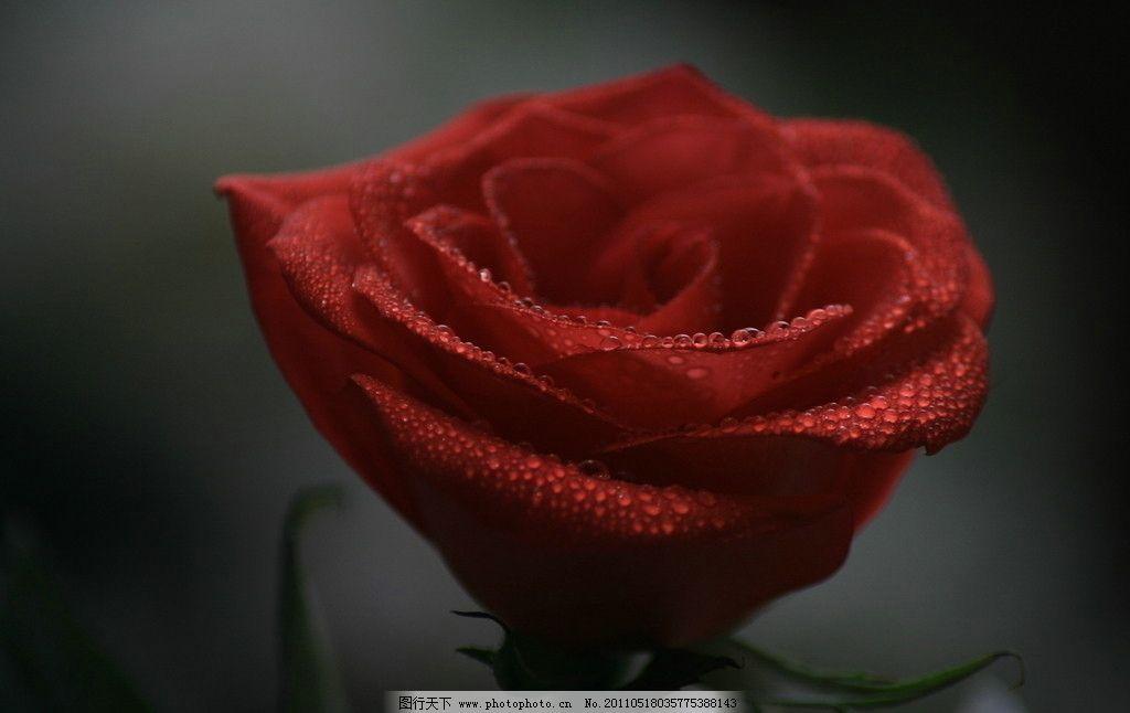 月季花 情人节 红花 花束 玫瑰特写 露珠 生态 自然 高清图片 新娘手