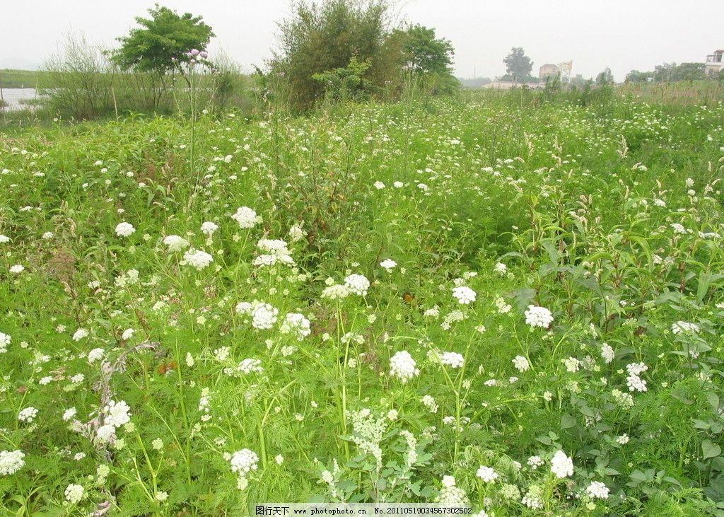 田园风光 花草 野外 白色小花 户外风景 江边 大江 草地 绿地 野花
