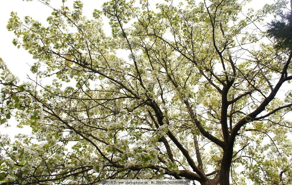 梨树叶图片大全大图