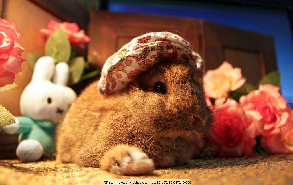 生物世界 家禽家畜  垂耳兔 肥肥 兔子 宠物兔 动物 毛茸茸 可爱 肥胖