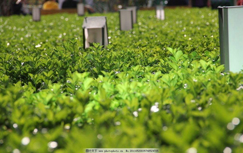 绿篱植物图片