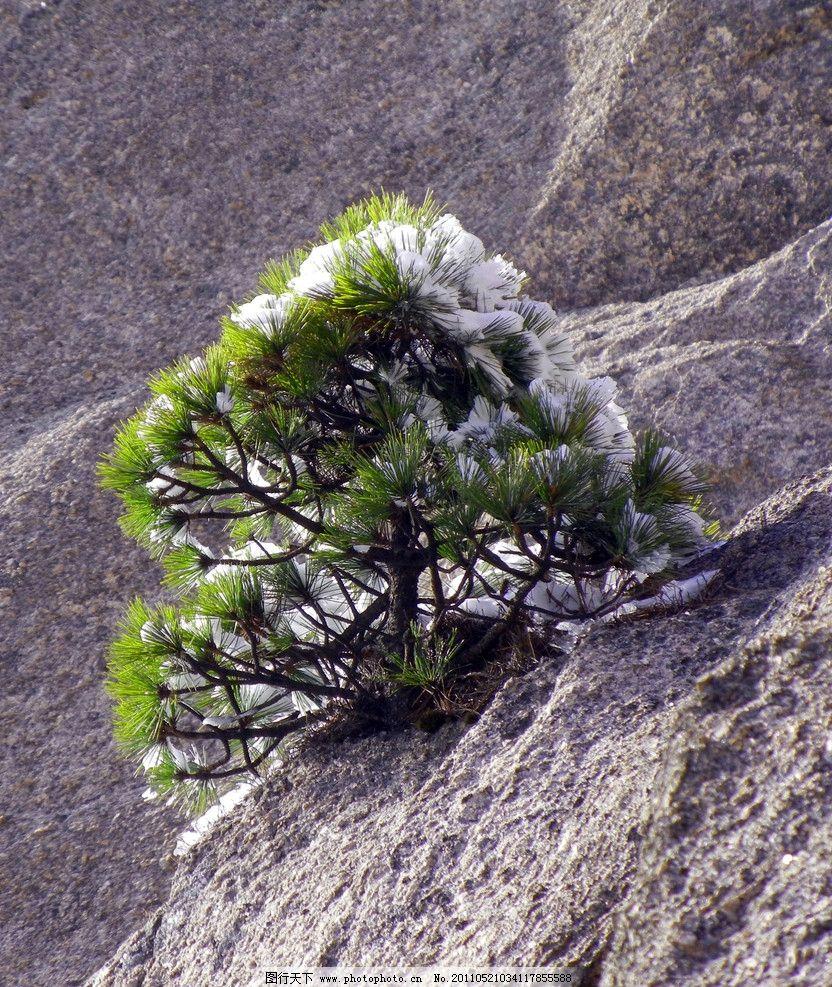 石树花 雪 黄山松 黄山 旅游 奇石 冬天 梯子 幽径 松树 缝 黄山雪景
