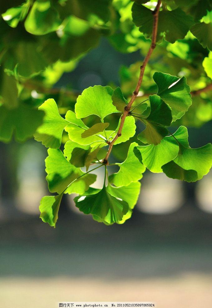 银杏 夏天 阳光 银杏叶 花草 树叶 叶子 公园 临沂银杏林 参天大树 绿