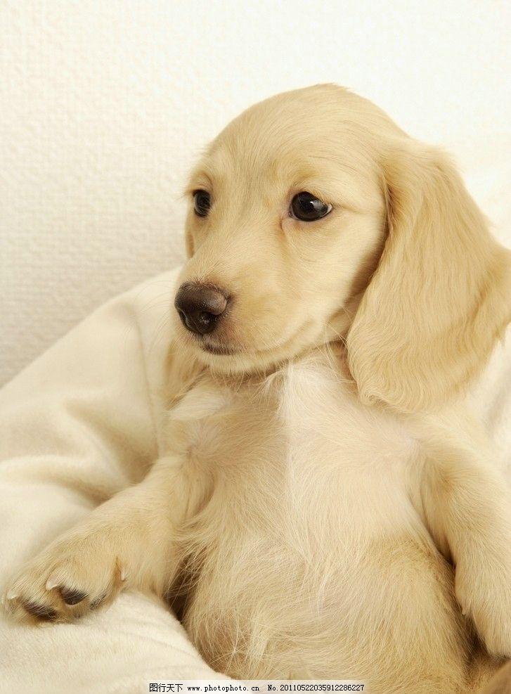 可爱的小狗 小狗 狗 宠物狗