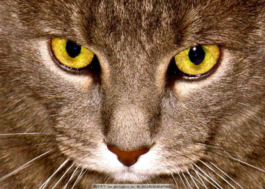 凶猫 动物 猫 猫眼 灰色猫 生物世界 野生动物 摄影 72dpi jpg