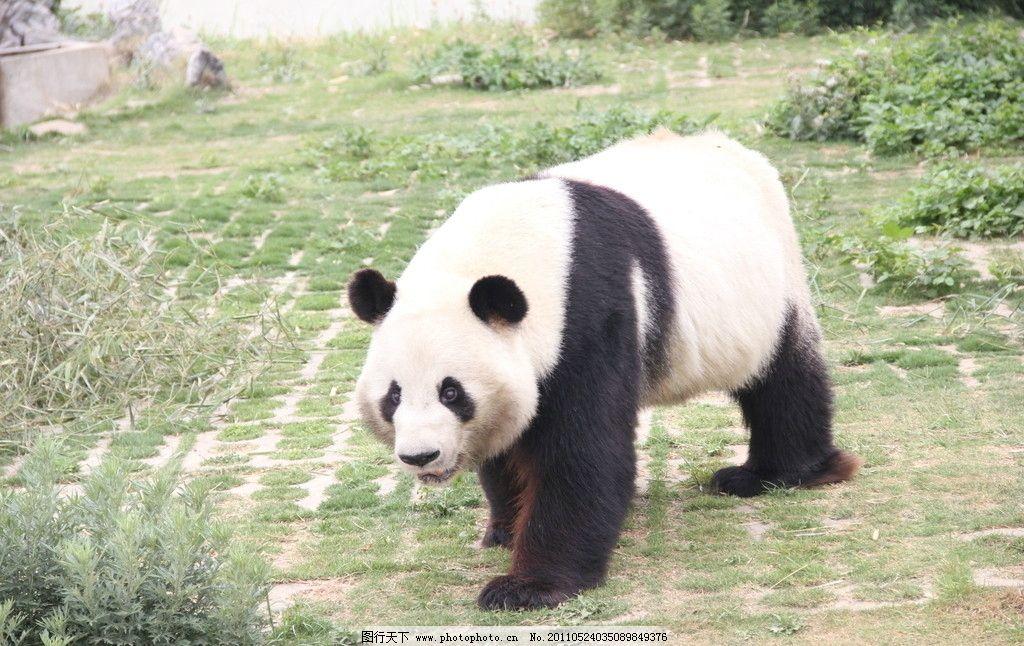 大熊猫 动物园 国宝 野生动物 生物世界 摄影 72dpi jpg