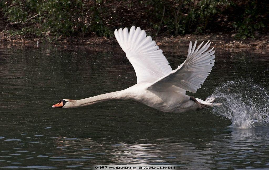 天鹅 动物摄影 禽鸟动物 白天鹅 野生动物 动物图片 天鹅图集 鸟类