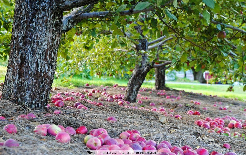苹果树图片_树木树叶_生物世界_图行天下图库