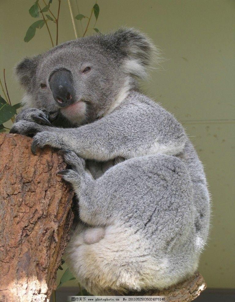 树熊 考拉 野生动物 生物世界 摄影 300dpi jpg