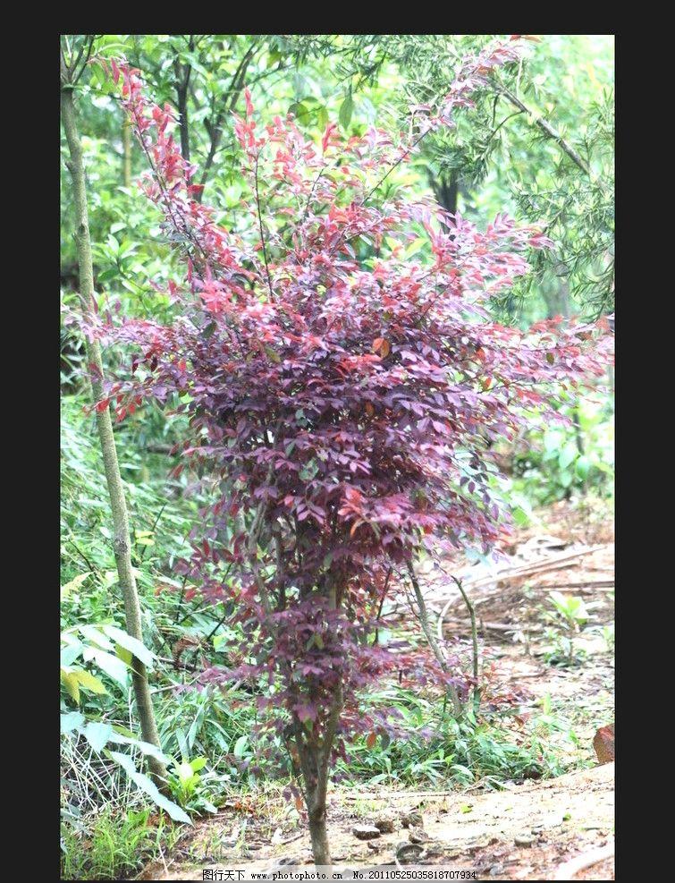 红继木 红色 紫色 树木树叶 生物世界 摄影 72dpi jpg