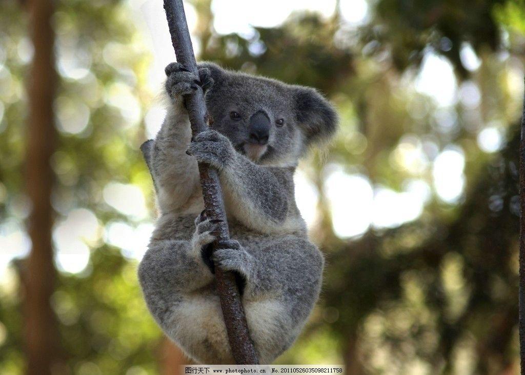 树熊 考拉 森林 野生动物 生物世界 摄影 300dpi jpg