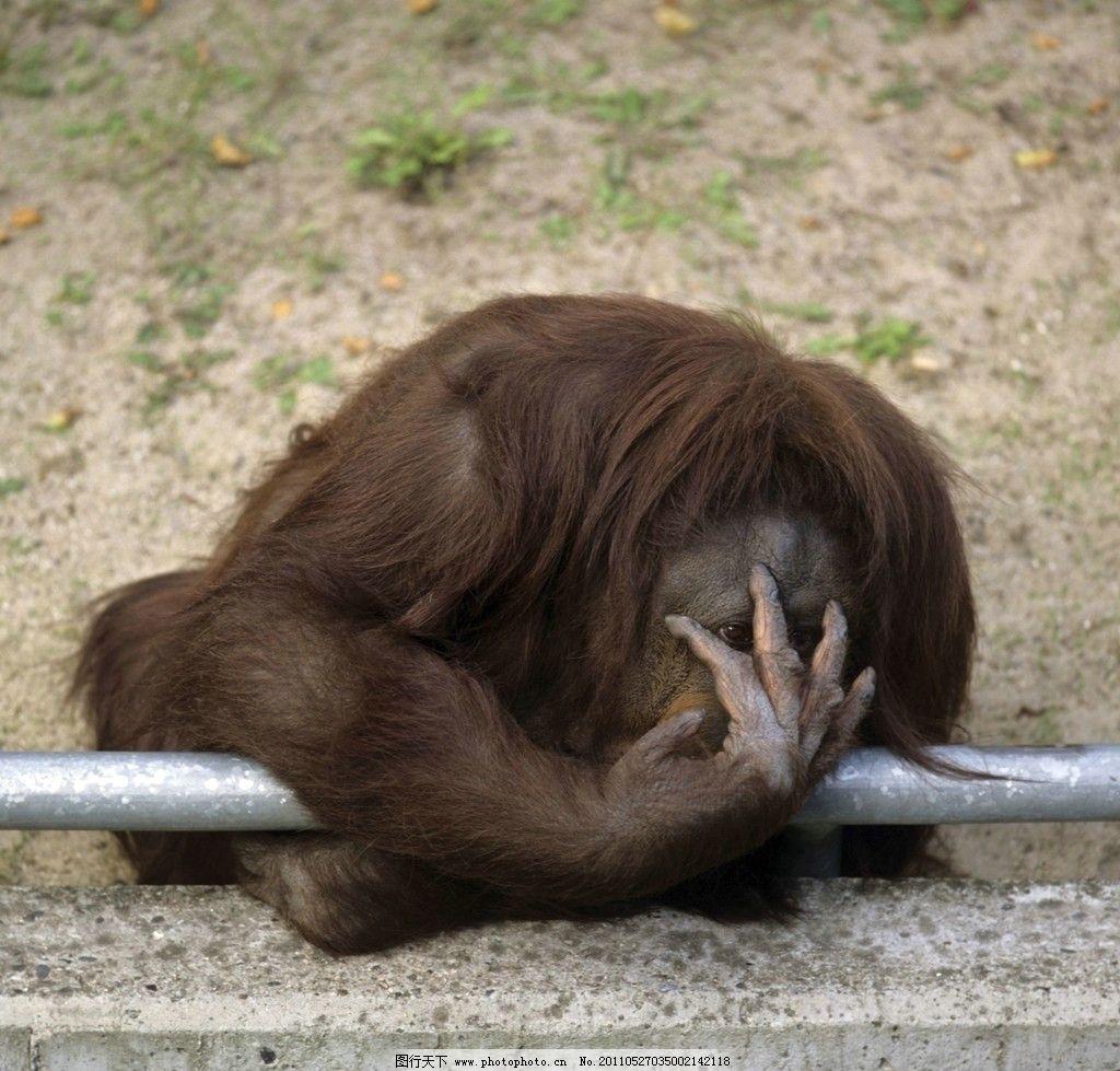 猩猩 黑猩猩 动物 地面 野生动物 生物世界 摄影 300dpi jpg