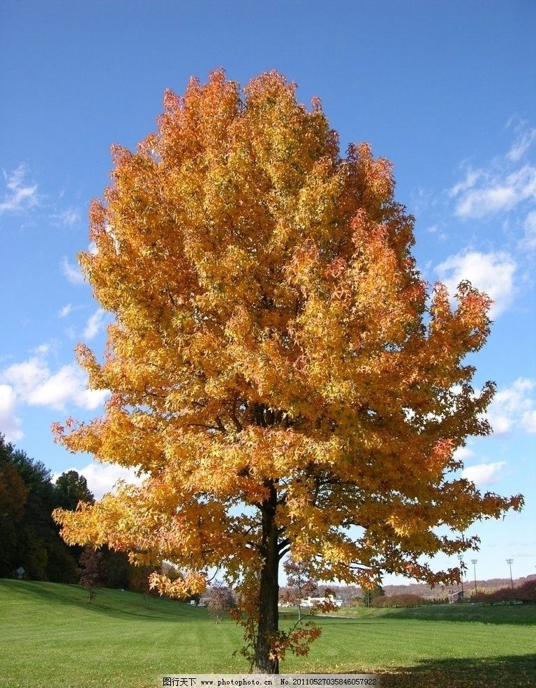 枫树 秋天 金色 树木树叶 生物世界 摄影 300dpi jpg