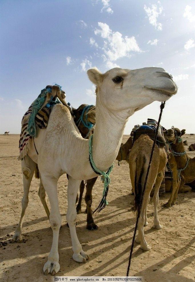 骆驼 沙漠 蓝天 白云 动物 动物世界 摄影