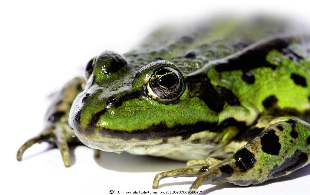 青蛙 树蛙 两栖动物 爬行动物 益虫 摄影