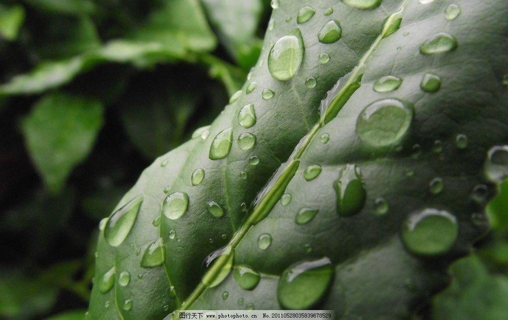 铁观音 茶树 茶叶 茶青 露水 叶子 微距 树木树叶 生物世界 摄影 72