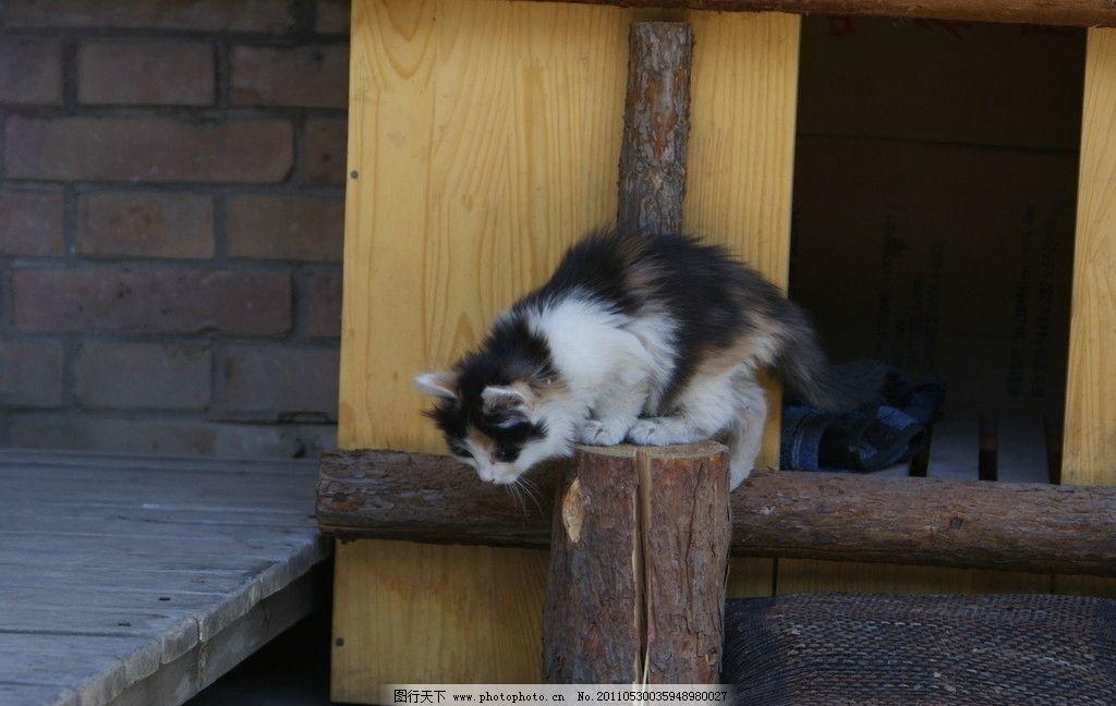 小花猫 猫 花猫 家禽家畜