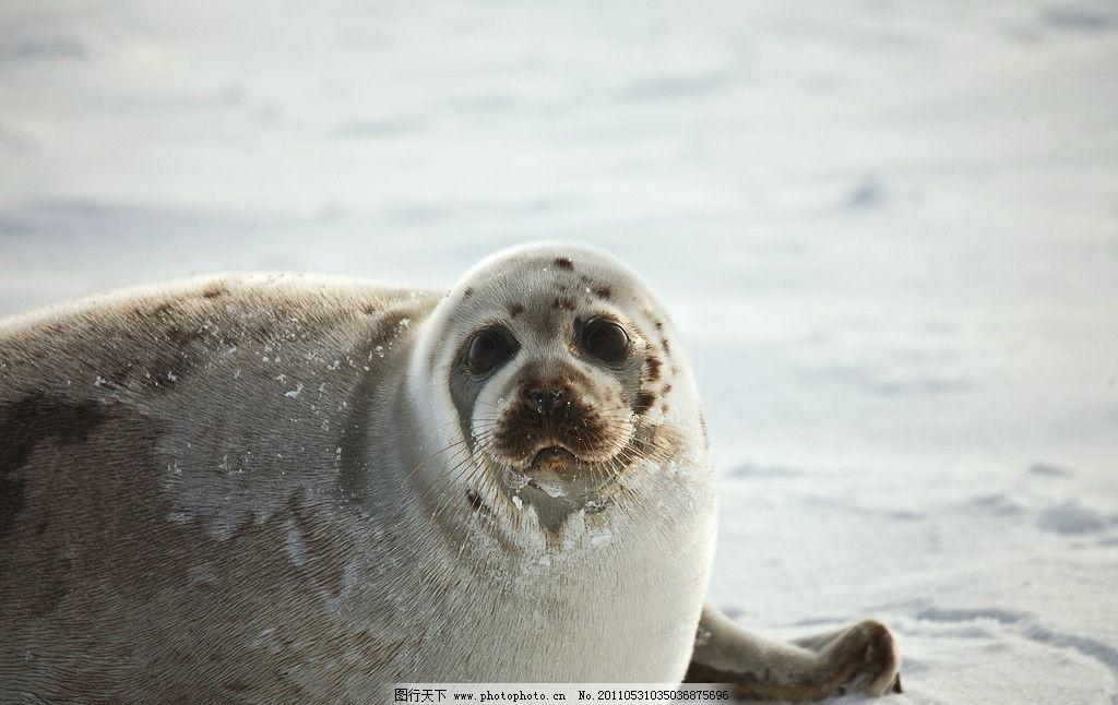 海豹 野生动物 小海豹 脯乳动物 雪地 雪景 北极 南极 北极生物 海洋