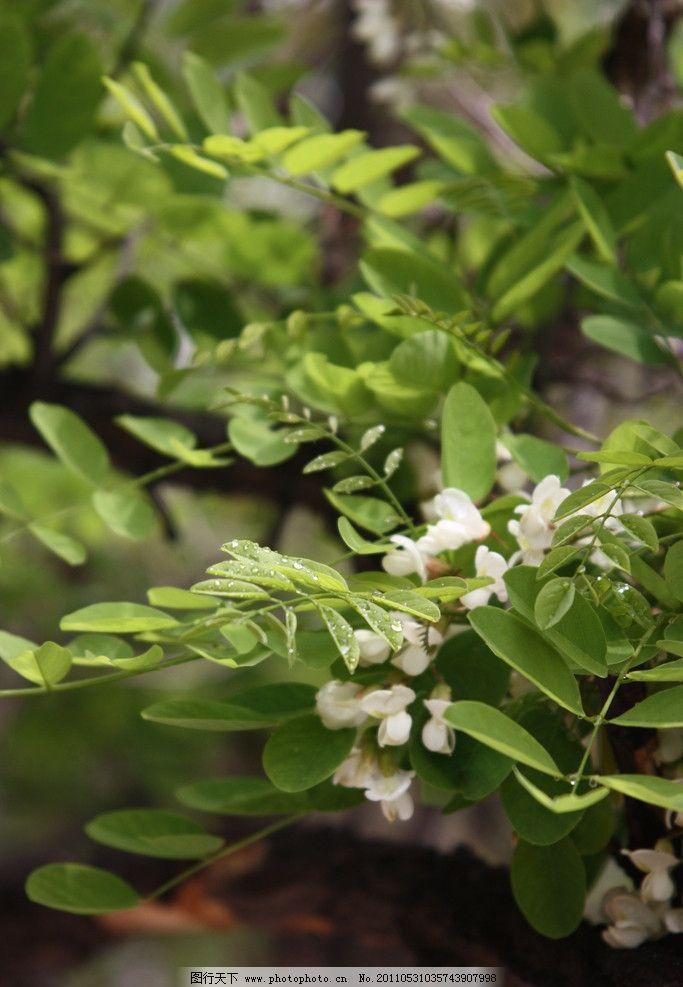 槐树花图片