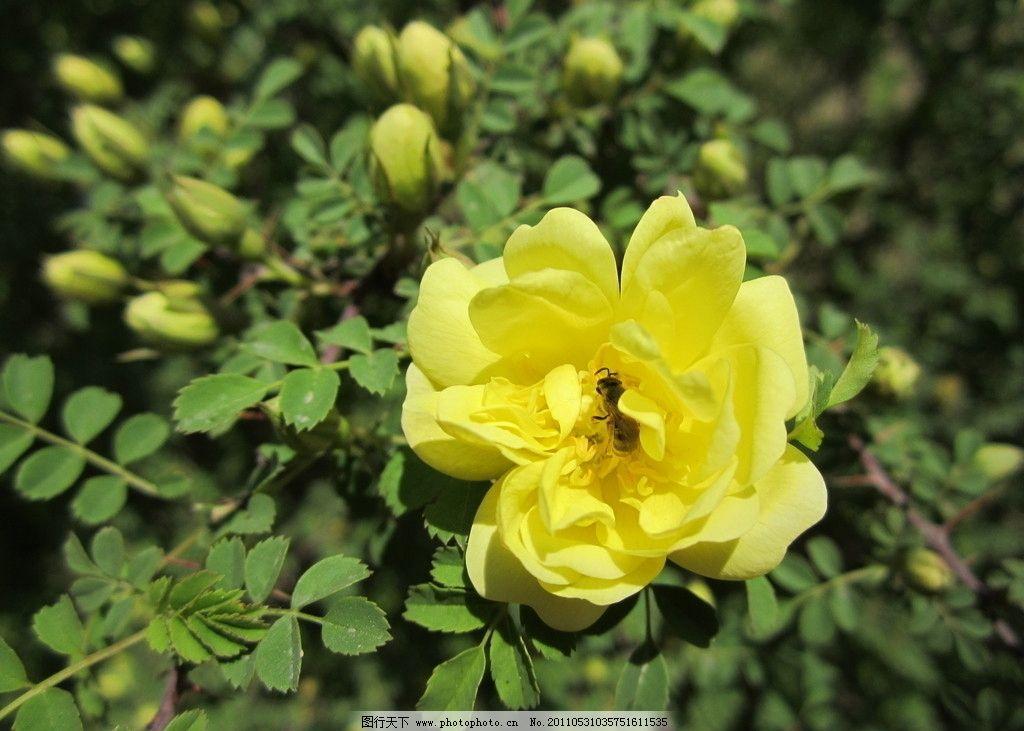 黄刺玫图片