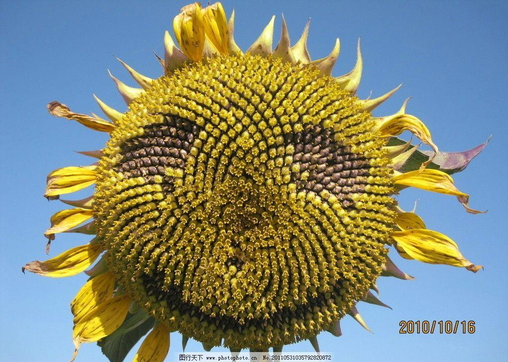 向日葵笑脸囹�a_蓝天下的笑脸向日葵图片