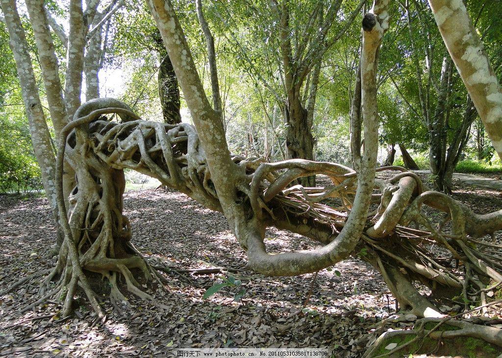 热带雨林 树 植物 风景 西双版纳 奇异树 怪异的树干 树木树叶 生物世