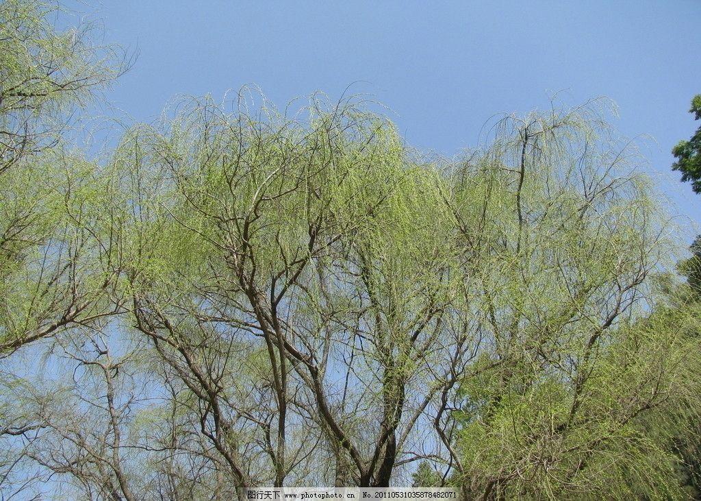 柳树 春天 发芽 柳枝 春色