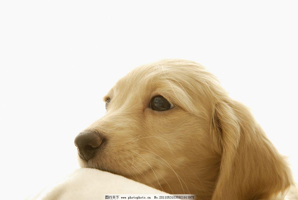 狗狗素材 宠物 狗狗 狗宝宝 动物 人和动物 锦毛狗 导盲犬 家禽家畜