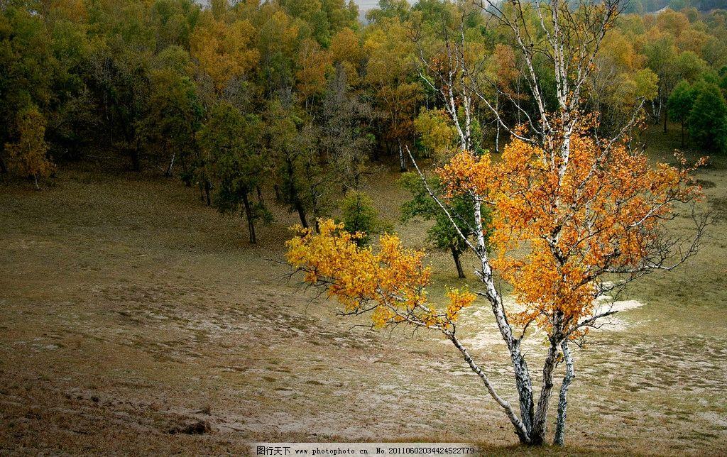 坝上金秋 坝上 秋季 风光 塞罕坝 金色 树林 草地 野外 美景 山水风景