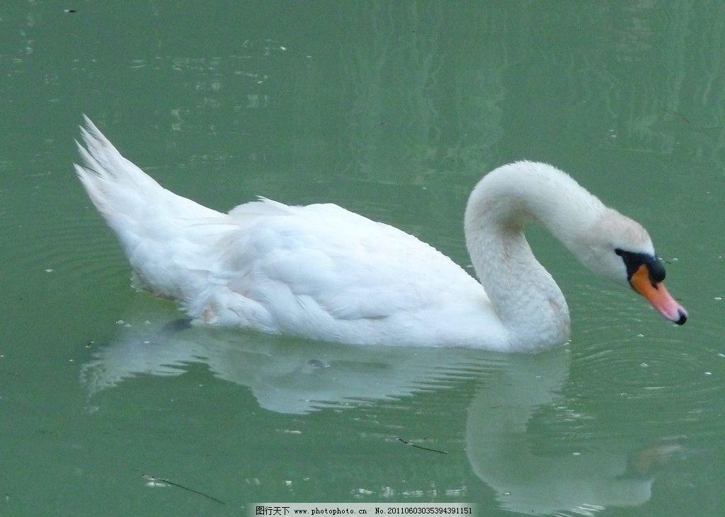 白天鹅 天鹅 湖水 倒影 鸟类 生物世界 摄影 180dpi jpg