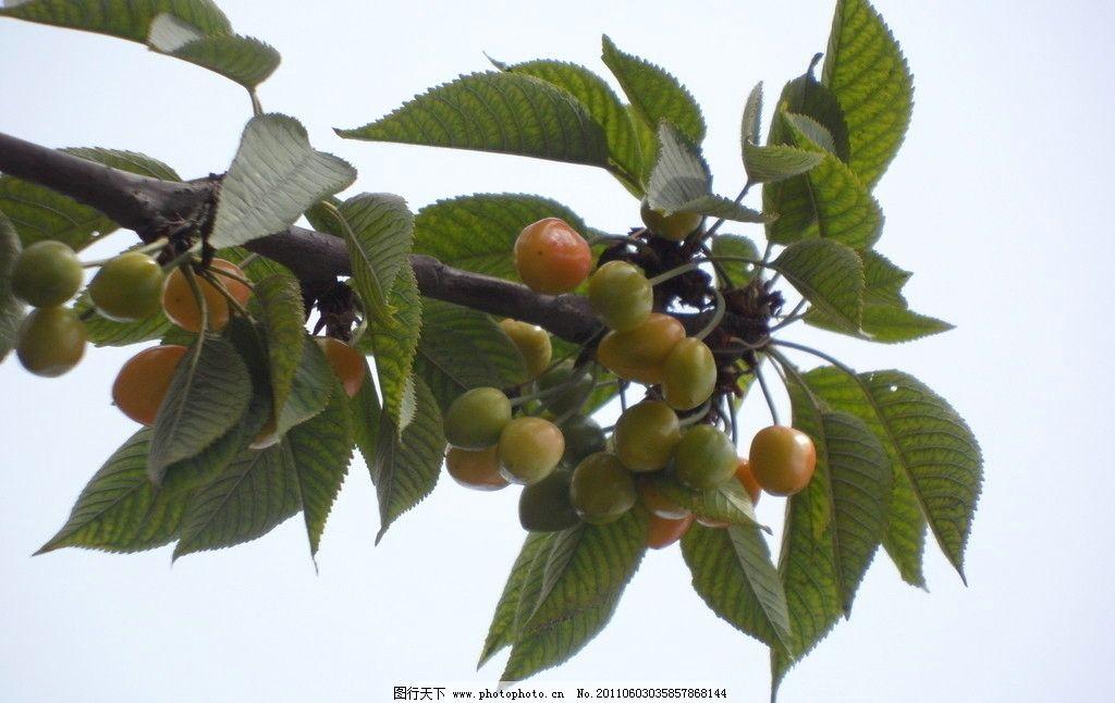 樱桃树 果实 叶子 果树