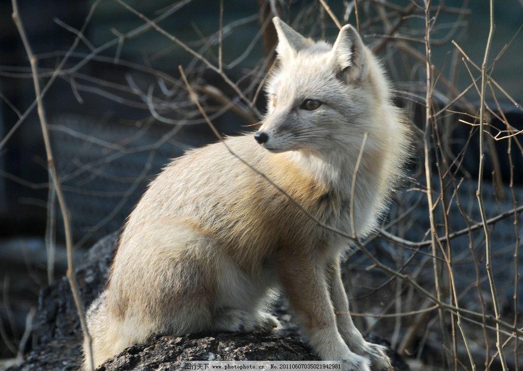 狐狸 动物 生物 摄影 生物世界 野生动物 300dpi jpg