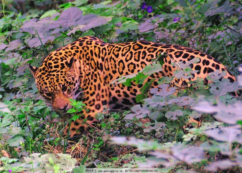 金钱豹 动物 生物 摄影 生物世界 野生动物