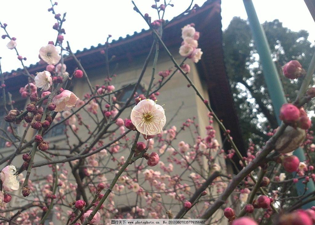 梅花 冬梅 冬景 花卉 开放 粉红色 花草 生物世界 摄影 72dpi jpg