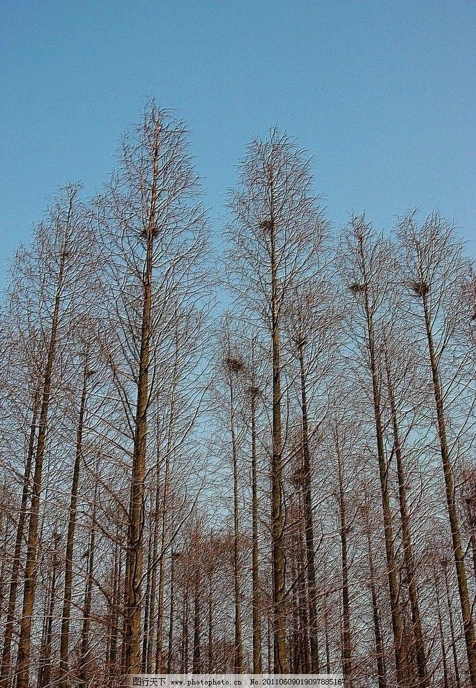 水杉树与鸟窝图片