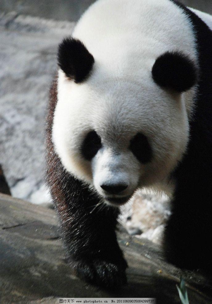 大熊猫 行走中 特写 动物园 活力熊猫 干净熊猫 野生动物 生物世界