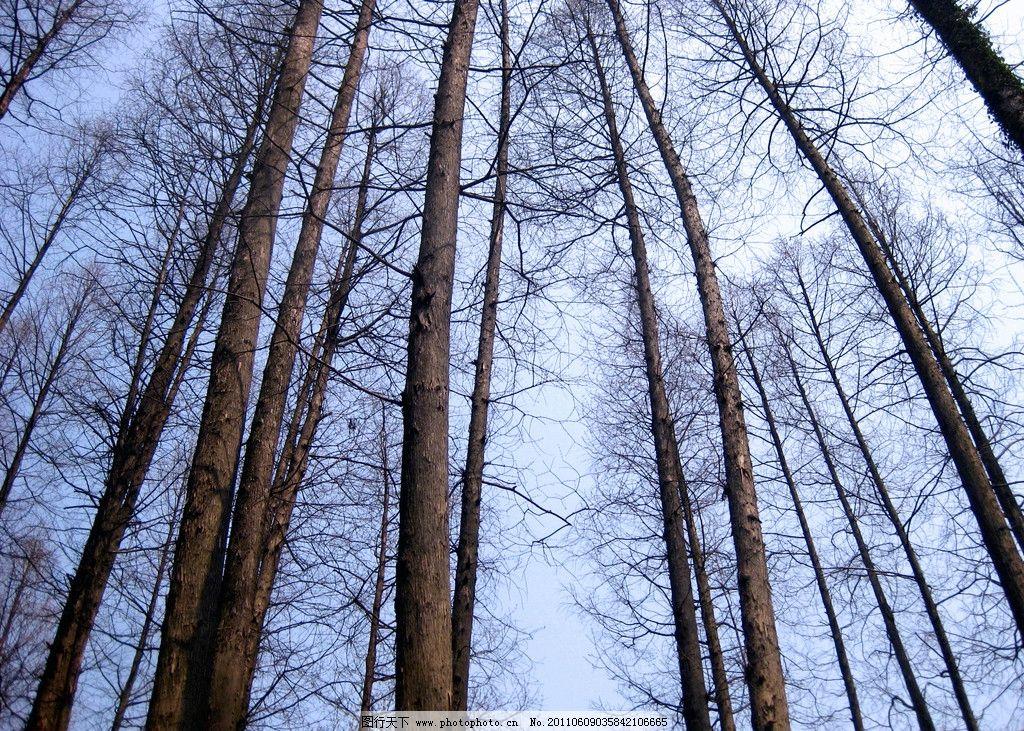 苍天大树 梧桐树 光秃秃 蓝天 参天大树 树木树叶 生物世界 摄影 180