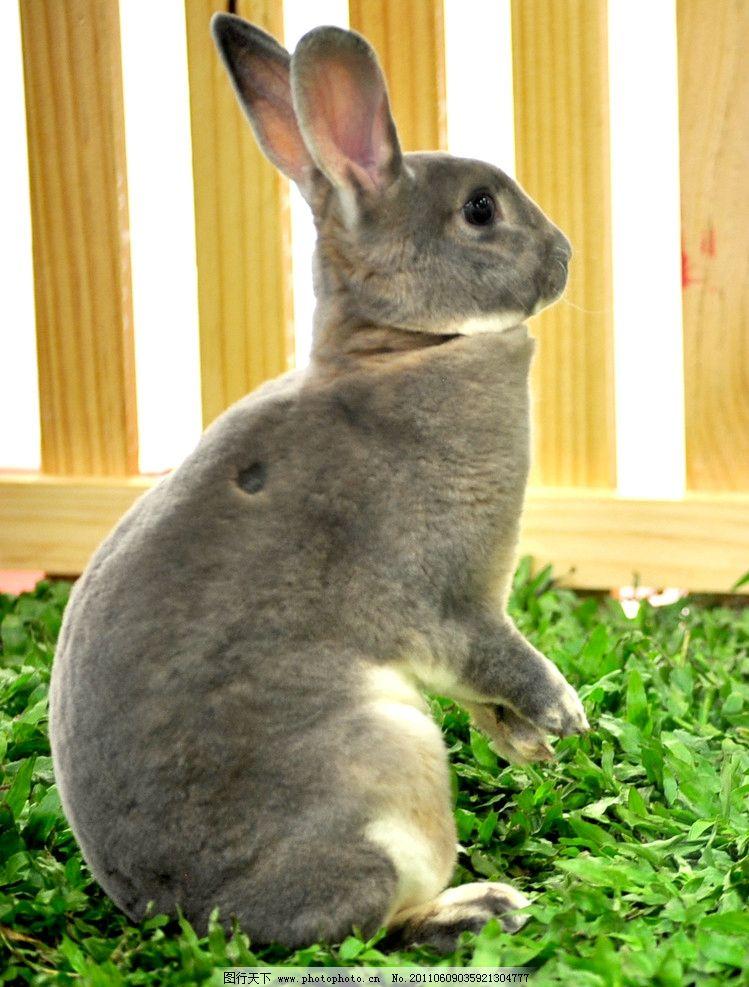 兔子 动物 家禽家畜 灰兔子 生物世界 摄影 300dpi jpg