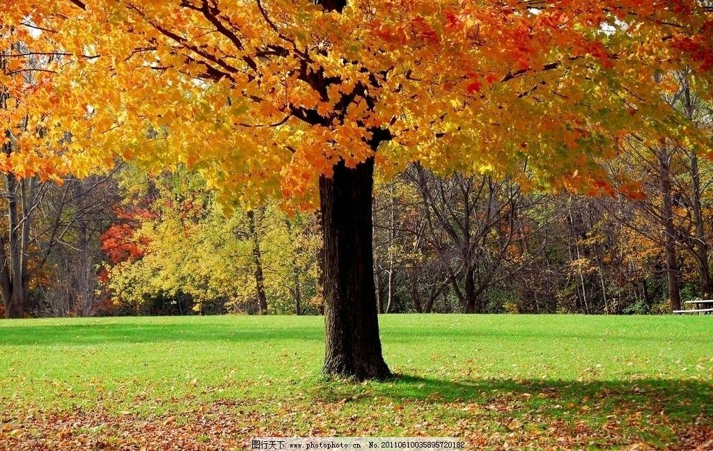 枫树 枫叶 秋天 公园 树林 草地 摄影