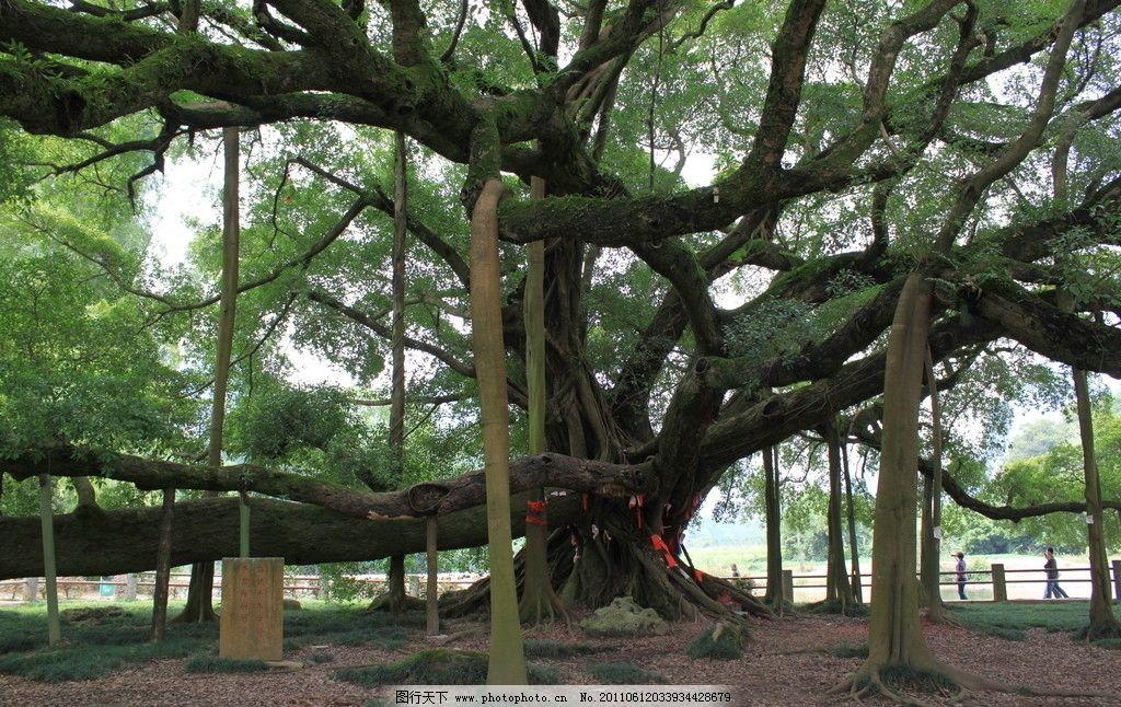 桂林大榕树图片