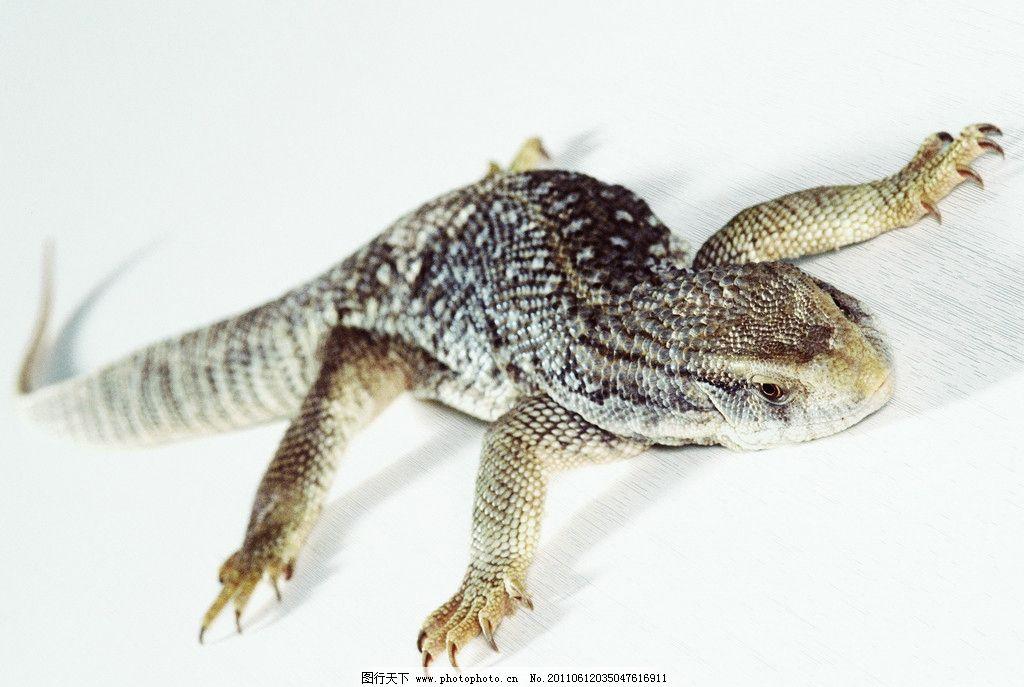 蜥蜴 四脚蛇 爬行动物 生物世界 野生动物 摄影