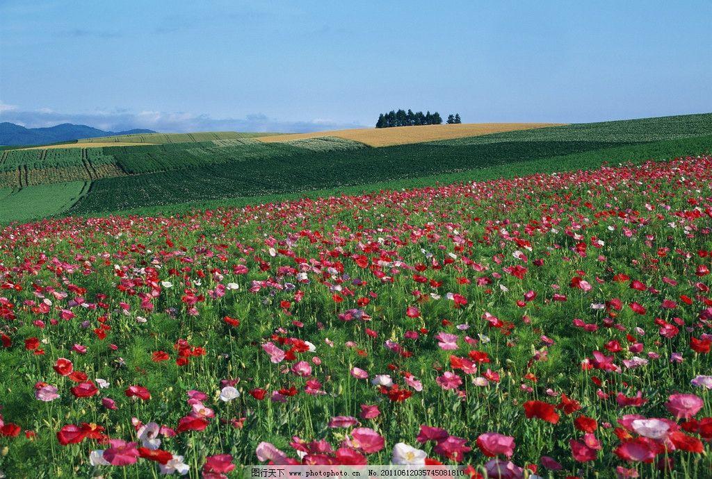 鲜花 花朵 天空 蓝天 背景 鲜花背景 大自然 自然环境 美丽风景 自然