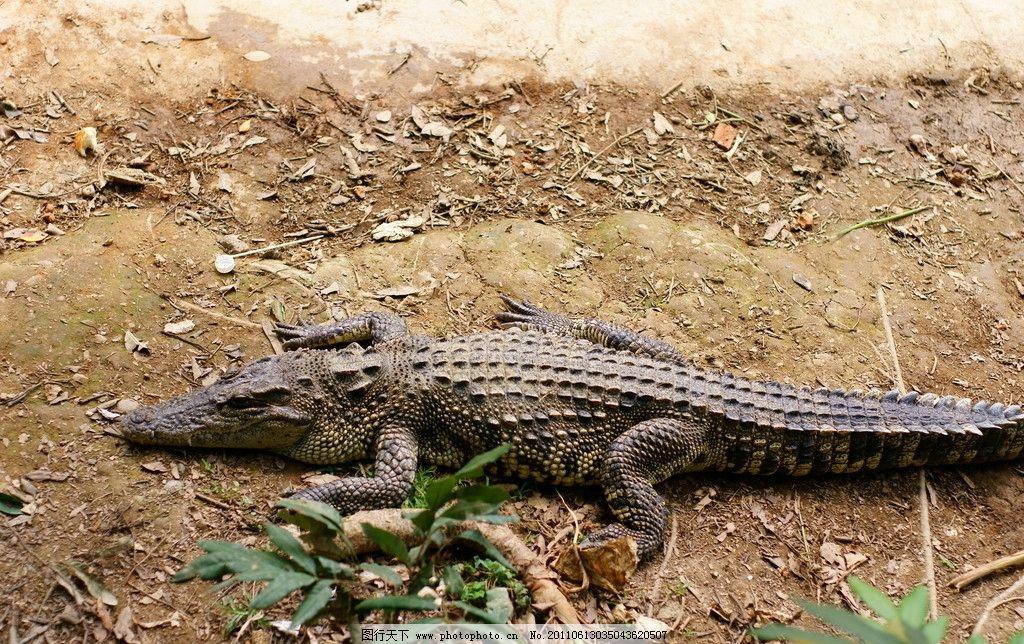 鳄鱼 猛兽 两栖动物 冷血动物 水族馆 水箱 动物园 爬行动物 野生动物