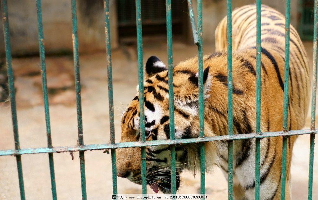 老虎 动物园 东北虎 笼子 兽中之王 野生动物 生物世界 摄影