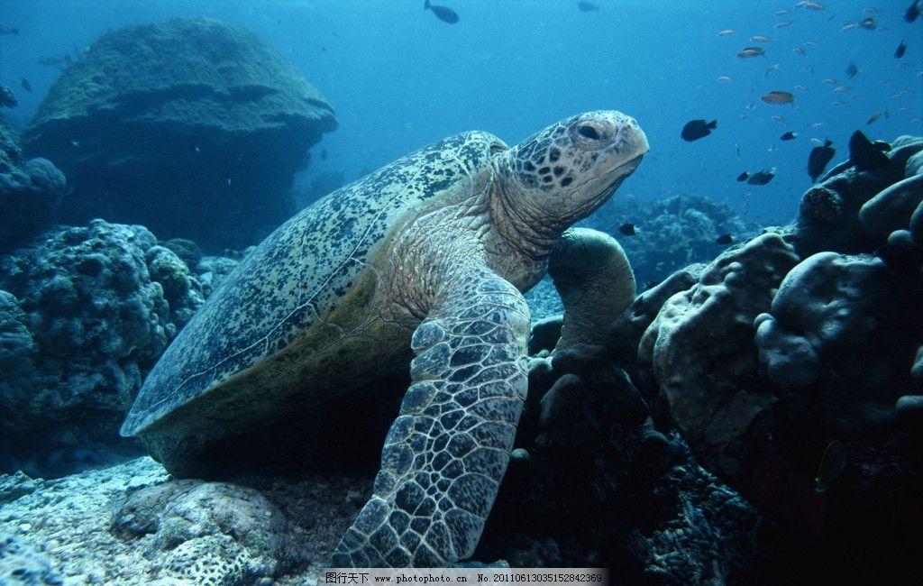 海洋生物图片,海龟 海底世界 珊蝴礁石 生物世界 摄影