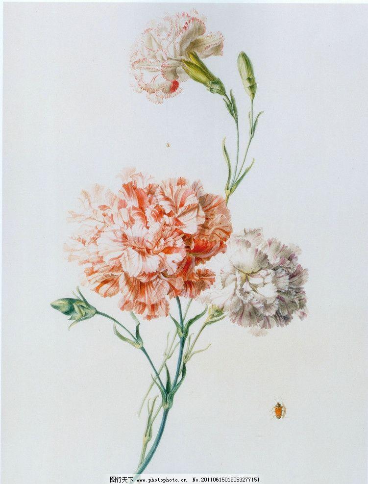 康乃馨 花 手绘 绘画书法