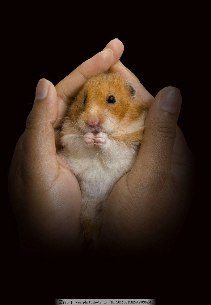 可爱的仓鼠图片