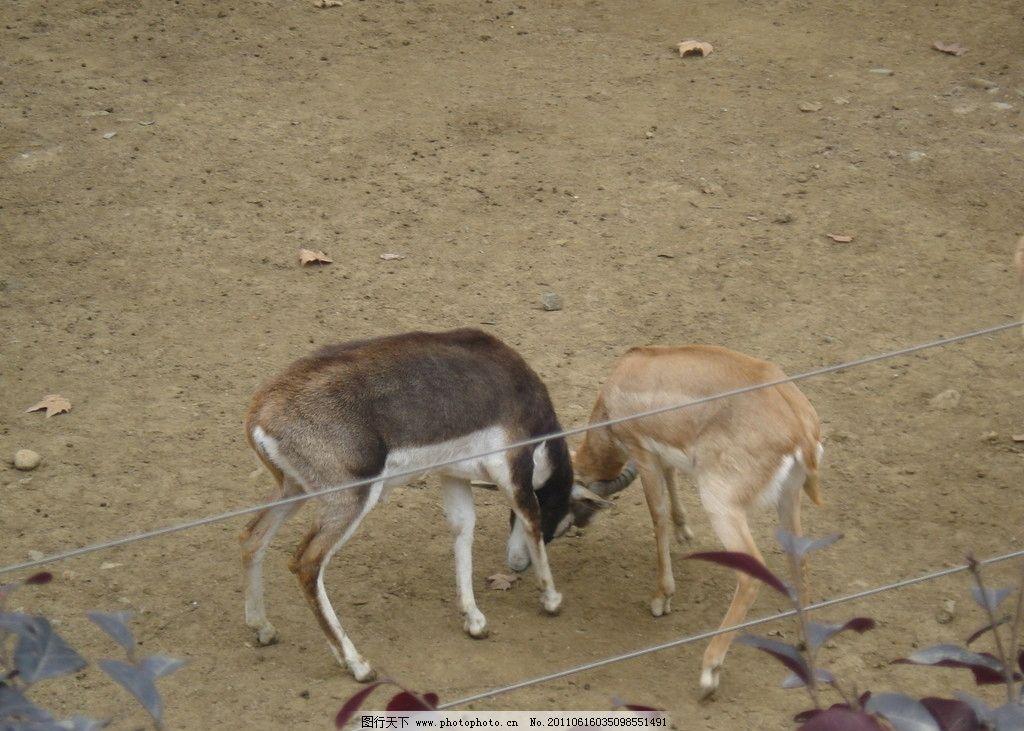小鹿斗角 小鹿 野生动物 生物世界 摄影 72dpi jpg